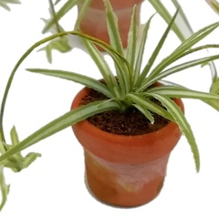 Image of Spider Plant, reverse colours