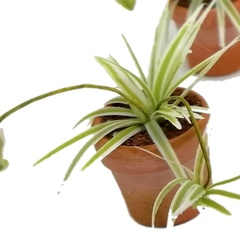 Image of Spider Plant