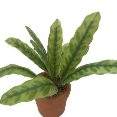 Image of <b>New:</b> Calathea Lancifolia (potted)