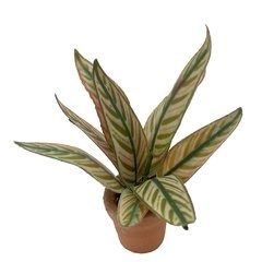 Image of <b>New:</b> Calathea Bachemiana (potted)