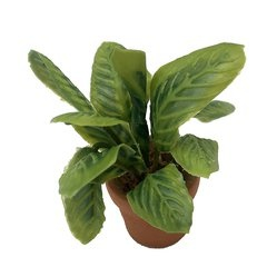Image of <b>New:</b> Maranta Leuconeura Green (potted)